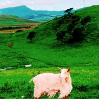 Hilda's goats