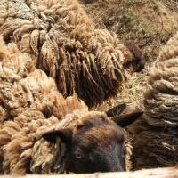 Shetland sheep small