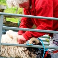 Hilda shearing