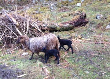 Shetland lambs, Wild Rose Escapes, craft courses, Highlands, Scotland