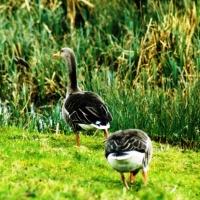greylag-geese