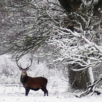 stag-in-winter