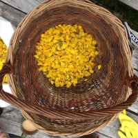 Natural dyeing with Gorse flowers