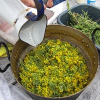 Natural Dyeing with Ragwort