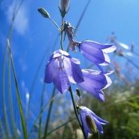 Campanula rotundiflora, Scottish bluebell (Oldshoremore beach)